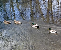 Ducks in a row. (EcoSnake) Tags: ducks mallards waterfowl wildlife winter february swimming idahofishandgame naturecenter