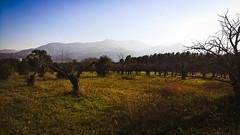 Paysage... (Isabelle****) Tags: paysage landscape céret pyrénéesorientales france cerisiers cherriestrees montagnes mountains