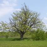 000017 - Allanburg Oak Tree