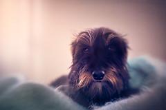 Milonga (Ro Cafe) Tags: ddproject52 animal dog doggie lensbaby milonga pet sol45 sonya7iii week9 lovely textured teckel dachshund