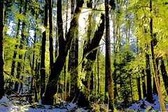 Pacific Temperate Rainforest in Winter (Goose Spittin' Image Photography) Tags: rainforest winter campbellriver feb2019 trees backlit snow