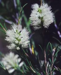 Melaleuca eleuterostachya, Kings Park, Perth, WA, 22/12/94 (Russell Cumming) Tags: plant melaleuca melaleucaeleuterostachya myrtaceae kingspark perth westernaustralia