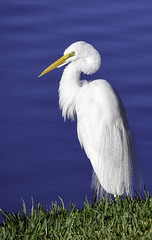 Elegant Egret (Charles Patrick Ewing) Tags: bird birds avian animal animals water sea ocean gulf landscape nature grass natural beautiful best new all everything blue white wading florida nikon photo flickr art artistic