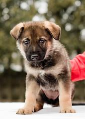 2019-03-02, Mel x Dezi Purple Female-6 (Falon167) Tags: gsd germanshepherddog german shepherd dog puppy mel dezi melxdezi litter bessie puppies