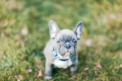 Oliver (Rebecca812) Tags: dog puppy frenchie frenchbulldog grass outdoors animals pets cute blue gray soft