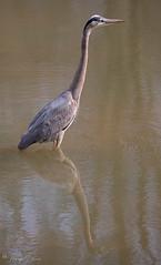 FM5A0356 (Kemp Davis) Tags: wildlife nature aquaticbird greatblueheron
