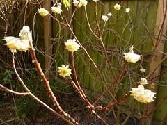 P1180702 (jrcollman) Tags: 21beechwoodave gardens places plants edgeworthiachrysanthaetomentosaepapyrifera eplant