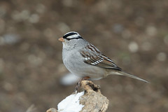 White-crowned Sparrow (Phil Wollenberg) Tags: whitecrowned sparrow wollenberg ohio bird winter dawes arboretum