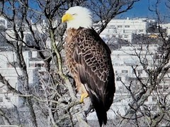 Liberty  - SCREENSHOT - 03-04-2019 (4) (THE Halloween Queen) Tags: eagles eagle wildlife bald baldeagles nationssymbol patriotic
