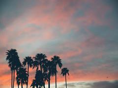 P1022455 (Claussm) Tags: vsco arizona az gh5 lumix sunset sky bird palm tree
