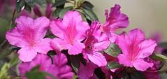 0B6A1602 (Bill Jacomet) Tags: azalea azaleas flower flowers houston tx texas 2019