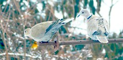 Ring Necked Doves (starmist1) Tags: doves ringnecked steelbar sophet roof house feeder march winter warming bluesky deck backyard trees grass snowfield snow field