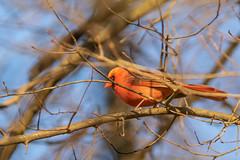 Cardinal in the Light (Ken Krach Photography) Tags: cardinal
