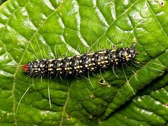 Caterpillar (Eerika Schulz) Tags: schmetterlingsraupe raupe caterpillar ecuador puyo eerika schulz