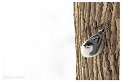 Sittelle à poitrine blanche (Nolwenn Trvdc) Tags: bird nature canada sitelle snow oiseau sitta carolinensis montréal wild