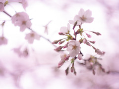 pale pink (Tomo M) Tags: ソメイヨシノ 桜 cherryblossoms flower sakura bokeh blur bud petal helios nature spring