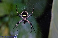 aranha (Luiz Filipe Varella) Tags: spider aranha macro macrophotography macros fotografia photos spiders animals aracnídeos fauna brasileira gaúcha rio grande do sul luiz filipe klein varella teia web teias