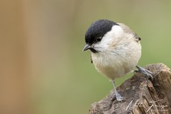 Marsh Tit (Poecile palustris) (PhasmatosOculus) Tags: march 2019 march2019 bird birds rivernene barnwellcountrypark barnwellpark barnwell country park northamptonshire wildlifeanimal wildlife animal animals wildlifeanimals matthewfarrugia matthew farrugia centricmalteser canon7dmkii canon 7d mkii eos7dmkii canoneos7dmkii eos canoneos eastanglia 7dmkii phasmatosoculus