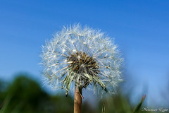 Fleur de Pissenlit (Ezzo33) Tags: france gironde nouvelleaquitaine bordeaux ezzo33 nammour ezzat sony rx10m3 parc jardin fleur fleurs flower flowers jaune yellow mauve rose pink rouge red bleu blue blanche white