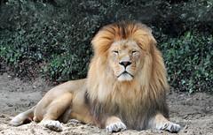 Zoo de la Palmyre (claude 22) Tags: zoo animal animaux sauvages wild france lion lapalmyre