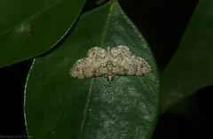 Chloroclystis guttifera (dustaway) Tags: insecta tamborinemountain mounttamborine sequeensland queensland australia australianwildlife lepidoptera geometridae larentiinae chloroclystisguttifera australianmoths australianinsects