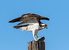 Osprey (Ed Sivon) Tags: america canon nature lasvegas wildlife wild western southwest clarkcounty desert flickr vegas bird birdofprey henderson nevada