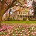 O.O. Howard House and Magnolia Petals 247 A