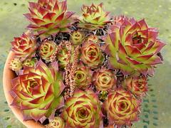 Hen & chicks (gerrygoal2008) Tags: succulent hen chicks plant grasse jujubarbe cactus