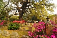 DSC_8852 (scsmitty) Tags: princegeorgewinyahchurch cemetery gravestone azaleas georgetownsc georgetown