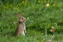 _M4A2243 (sam-reeves) Tags: essex warleyplace nature flowers rabbit animal spring