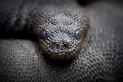 Acrochordus granulatus (Matthieu Berroneau) Tags: acrochordus granulatus acrochordusgranulatus banded file snake bandedfilesnake marine marinefilesnake sony alpha ff 24x36 macro nature wildlife animal fe 90 f28 g oss fe90f28macrogoss sonya7iii sonya7mk3 sonyalpha7mark3 sonyalpha7iii a7iii 7iii 7mk3 sonyilce7m3 sonyfesonyfe2890macrogoss objectifsony90mmf28macrofe sel90m28g herp herping trip komodo komodoislands reptile reptilian reptilia serpent sea ocean mer océan marin elephant trunk elephanttrunksnake