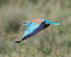 European Roller in flight. (Mark Vukovich) Tags: european roller coracias garrulus bird flight blue green africa tanzania ndutu