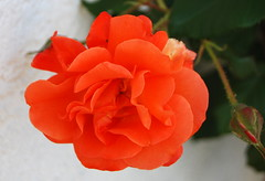 Du denkest in der tiefsten Not (amras_de) Tags: rose rosen ruža rosa ruže rozo roos arrosa ruusut rós rózsa rože rozes rozen roser róza trandafir vrtnica rossläktet gül blüte blume flor cvijet kvet blomst flower floro õis lore kukka fleur bláth virág blóm fiore flos žiedas zieds bloem blome kwiat floare ciuri flouer cvet blomma çiçek
