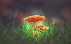 Mushroom (Dhina A) Tags: sony a7rii ilce7rm2 a7r2 a7r kaleinar mc 100mm f28 kaleinar100mmf28 5n m42 nikonf russian ussr soviet 6blades manualfocus