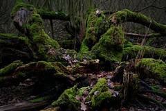once upon in a time ... (nordelch61) Tags: deutschland hessen naturschutzgebiet mönchbruch totholz moos laub ast äste wurzeln