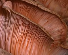 Fungal-gills_1638 (Peter Warne-Epping Forest) Tags: fungus chingfordps peterwarne macro closeup