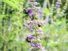 Ahh 2C Purple Again (Robert Cowlishaw (Mertonian)) Tags: bees purple refreshed mertonian robertcowlishaw canon powershot canonpowershotg1xmarkiii g1x mark iii hearkening alwayswilliwait