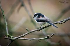 Long tailed tit (vickyouten) Tags: longtailedtit nature wildlife britishwildlife wildlifephotography nikon nikond7200 nikonphotography nikkor55300mm warrington uk vickyouten
