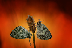 Common awakening in the summer (♥ ⊱ ╮Juergen╭ (mostly off)) Tags: wildlife natural twins marbledwhite butterflies meadow sunrise summertime untouched