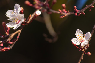 And The Cherry Blooms