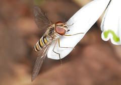 Marmalade Hoverfly (Arnt Kvinnesland) Tags: episyrphusbalteatus hoverfly insect february blomsterflue snøklokker hage insekt februar vinter vår blikshavn norway