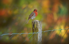 Sing for your Supper... (KissThePixel) Tags: robin robinredbreast mrrobin redrobin bird birdwatching nature garden gardener bokeh bokehlicious beautiful beautifulday beauty longacremanor fence fencephotography fencebokeh february metalfence wirefence woodenpost goldbokeh softbokeh redbokeh nikon nikond750 tamron tamron150600mm woodland depthoffield dof dofalicious dreamy britishbird wildlife