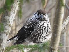 Spotted Nutcracker (Nucifraga caryocatactes) (eerokiuru) Tags: spottednutcracker nucifragacaryocatactes tannenhäher orzechòwka mänsak p900 bird wildlife nature birding vogel nikoncoolpixp900