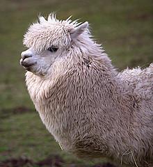 Alapca (Phil*ippe) Tags: alpaca animal