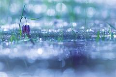 Woodland Fairy #3 (Missy Karine) Tags: nature expositionnaturelle blue flower vegetal picoftheday picture canon7dmarkii canon300mml canonfrance abigfave ngc macroflowerlovers macrophotography light water flares macro