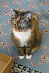 Gracie 25 February 2019 2472Ri 4x6 (edgarandron - Busy!) Tags: gracie patchedtabby cat cats kitty kitties tabby tabbies cute feline