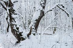 Lumine puu (Jaan Keinaste) Tags: pentax k3 pentaxk3 eesti estonia loodus nature lehmjatammik talv winter lumi snow puu tree