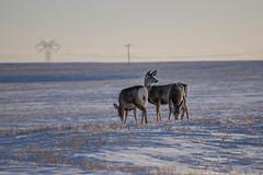 Mule Deers (hey ~ it's me lea) Tags: muledeer muleys marshmallowbutts