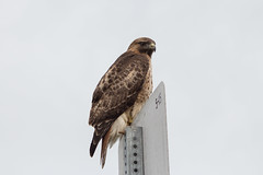 What A Nice Sign (Brannan!) Tags: red tail hawk bird raptor grizzly island marsh sign sky beak eye feather