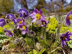 P4060290_DxO (saschaausbremen) Tags: botanika bremen blumen blüten flower spring